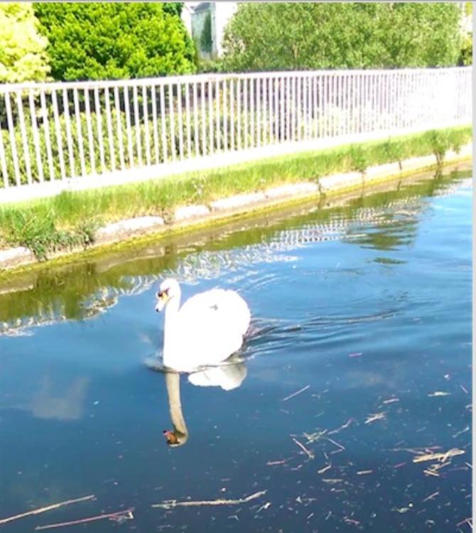 Swan-on-Aqueduct