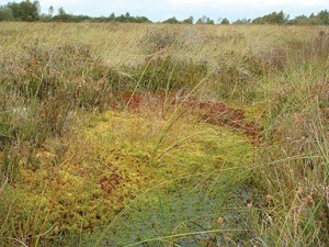 Raised Bog Habitat at Lodge Bog, Co. KIldare, Ireland