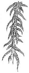 Bog Moss (Sphagnum species)
