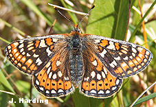 Adult Marsh Fritillary Butterfly (Euphydryas aurinia)