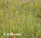 Devil's Bit Scabious (Succisa pratensis) - food plant of the Marsh Fritillary Butterfly (Euphydryas aurinia)
