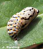 Pupa of the Marsh Fritillary Butterfly (Euphydryas aurinia)