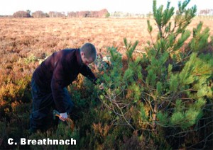 Hand Removal of Invasive Conifers from Lodge Bog, Co. Kildare