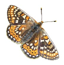 Marsh Fritillary Butterfly (Euphydryas aurinia)