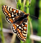 Marsh Fritillary Butterfly (Euphydryas aurinia) on Lullymore West Bog, Co. Kildare, Ireland