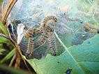 Autumn nest of the Marsh Fritillary Butterfly Caterpillars on Lullymore, West Bog, Co. Kildare, Ireland