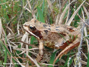 Common Frog (Rana temporaria) in Lodge Bog, Co. Kildare