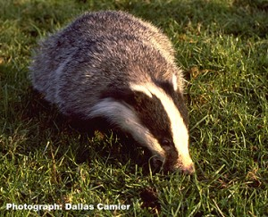 badgerdc