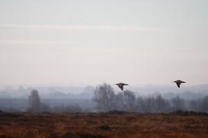 flying curlew