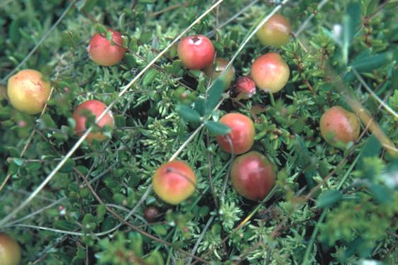 cranberrypfoss